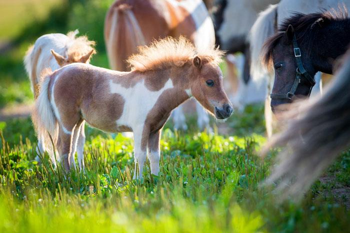 The Miniature Horse Not Just A Small Horse! - Horseman's News